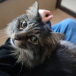 【里親募集中の保護猫ブログ】ライオンという名の猫