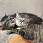 【里親募集中の保護猫ブログ】多摩川出身の仲良し猫 ライオン&さっぱり